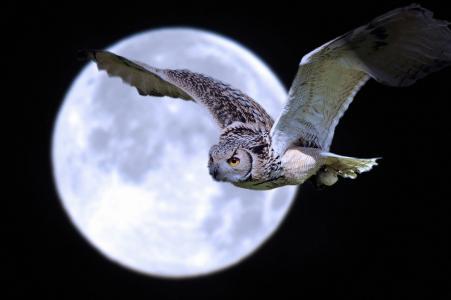 月亮,鸟,飞行,夜,猫头鹰