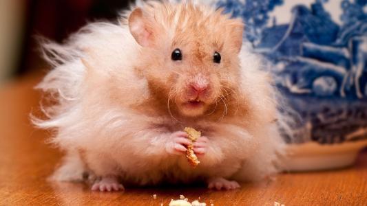 仓鼠,食物