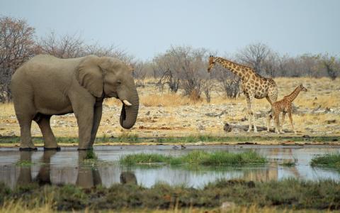 长颈鹿,非洲,大象