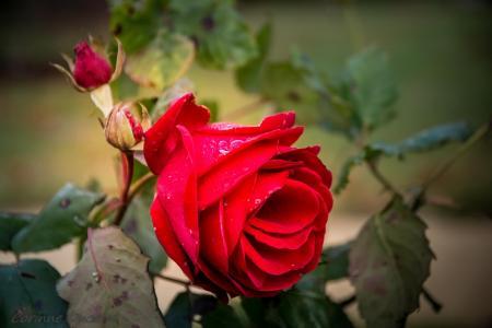 玫瑰,宏观,模糊,水,滴眼液