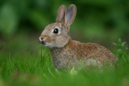 模糊,兔子,草,野兔,绿党