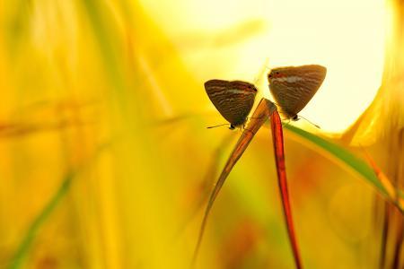 宏,背景,黄色,蝴蝶,太阳,草,昆虫