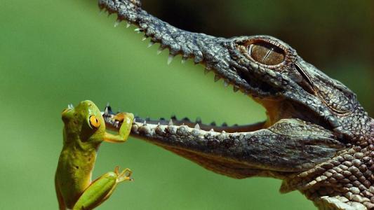 鳄鱼,青蛙,野生,野人