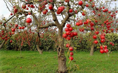 苹果树,苹果,秋天