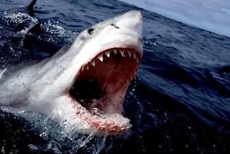 白鲨,鲨鱼,捕食者,美丽