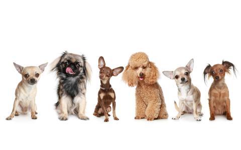 小猎犬,北京人,贵宾犬,杜宾犬,奇瓦瓦狗,狗