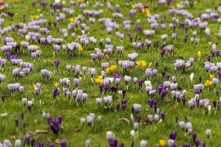 田野,番红花,春天,美丽