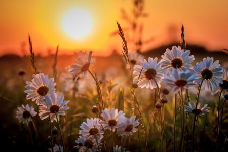 性质,宏观照片主题,鲜花,雏菊,天空,日落,美丽,夏天