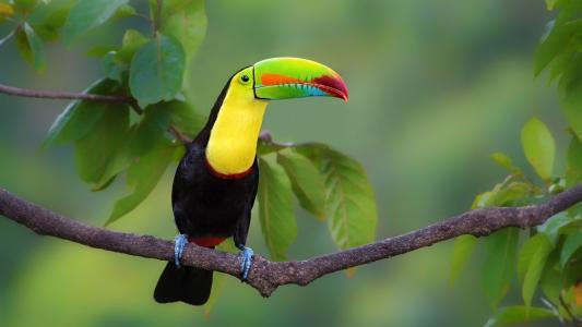 在枝头上的巨嘴鸟