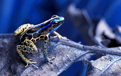 青蛙,变色龙,非洲