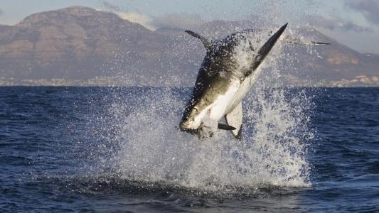 鱼,鲨鱼,海洋,鲨鱼,猎物