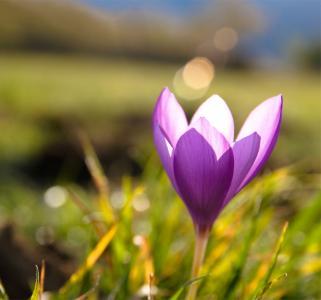 宏,春天,番红花,草,丁香,眩光
