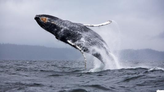 性质,okena,座头鲸,鲸鱼,照片,美丽