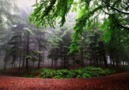 密集,森林,树木,路径,美女,夏天,绿色,雾