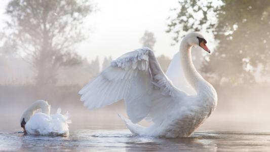 天鹅,情侣,水,薄雾,翅膀