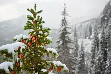 雪,冷杉,性质,视锥细胞,山,冬天