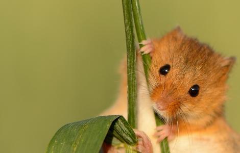 小动物,老鼠,草,美容,背景,眼睛