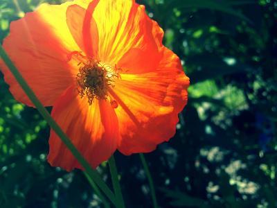 绿色,罂粟,橙色,夏天