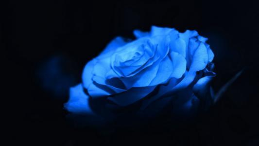 玫瑰,蓝色,花