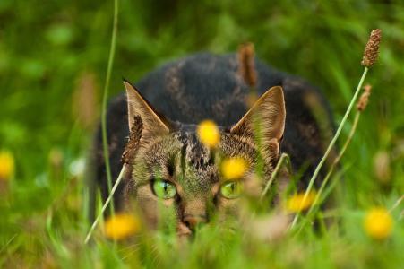 猫,猫,绿色的眼睛,查看,草,性质