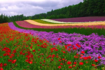 领域,鲜花,条纹