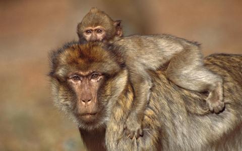 黄色的狒狒,猴子,狒狒