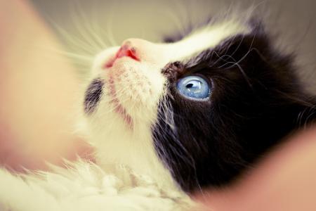 宏,猫,脸,黑色和白色,小猫