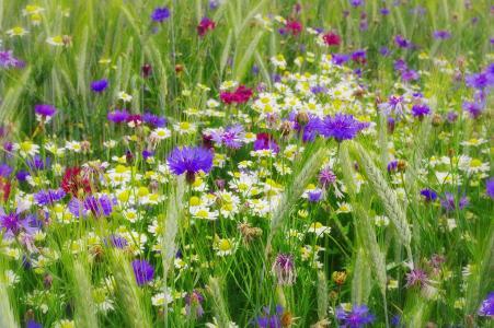 自然,夏天,领域花,矢车菊,chamomiles,小穗