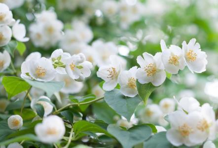 性质,夏天,开花,布什,鲜花,茉莉花