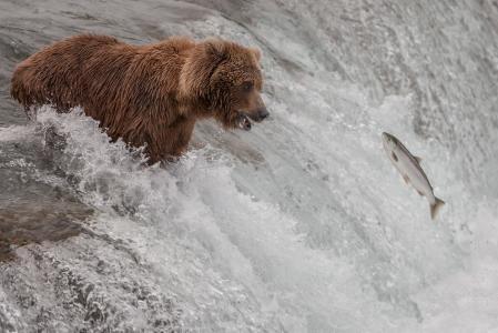 自然,熊,三文鱼,狩猎,产卵,河,瀑布,水