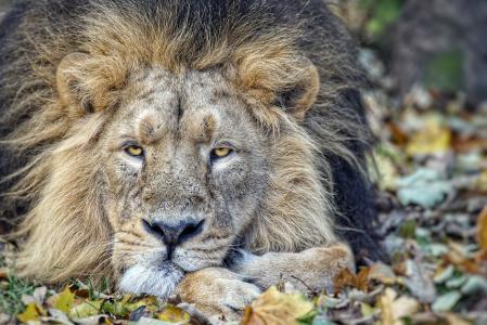 狮子,一个掠食者