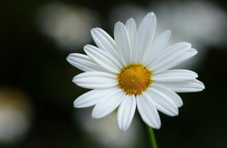 鲜花,美容,花卉,背景,花瓣,鲜花世界,洋甘菊
