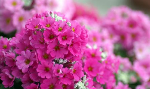 粉红色,鲜花,宏,明亮,福禄考