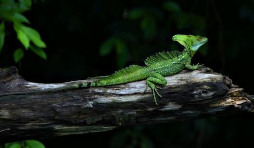 动物,蜥蜴,蛇怪,爬行动物,basiliscus,绿色