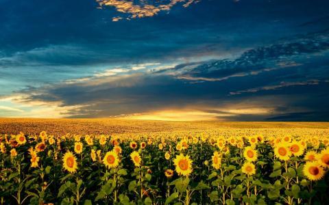 向日葵,乌克兰,田野,天空,美丽,夏天