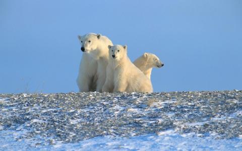 北极,北极,北极熊