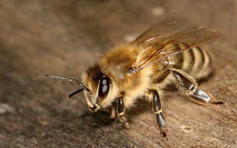 昆虫,爪子,触角,宏,眼睛,翅膀,蜜蜂