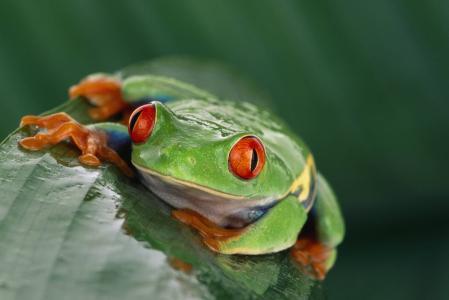 青蛙,异国情调,红色的眼睛