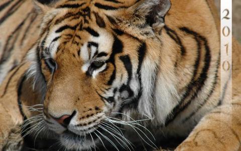 虎年2010年,美女,大猫