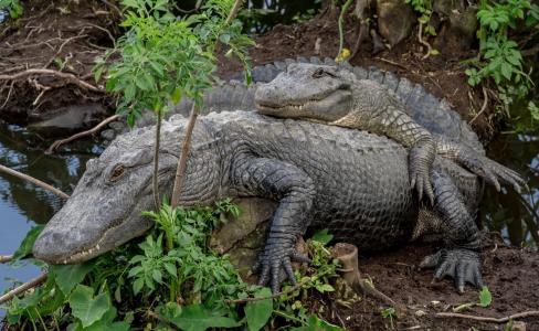动物,鳄鱼,水