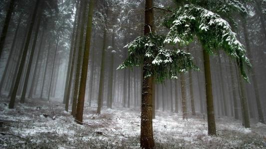 森林,冬天,性质,冷杉,雪,雾,美丽