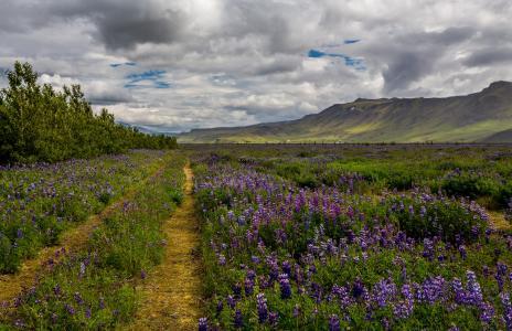 冰岛,景观,领域,羽扇豆,小山,性质