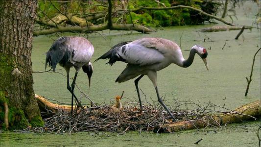 动物,鸟类,起重机