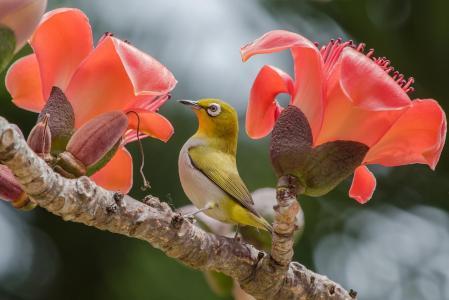 鸿昌鸟,世界鸟,鸟,白眼,白眼,silvereye,热带,科,花,棉花
