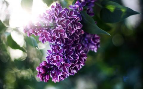 丁香,光,光线,鲜花,模糊,叶子