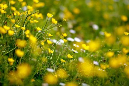 林间空地,鲜花,黄色,毛茛