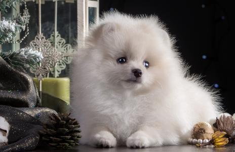 白色,小狗,博美犬,圣诞树,玩具