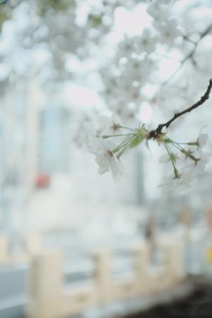 盛开在枝头的雪白樱花