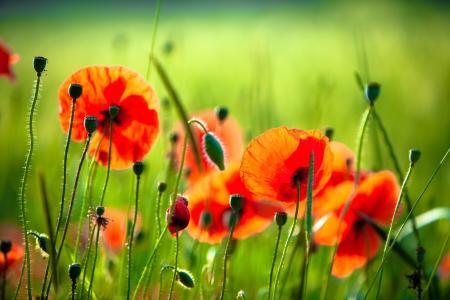 性质,草,红色,绿色,鲜花,罂粟花