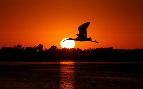 鸟,太阳,天空,红色,日落,飞